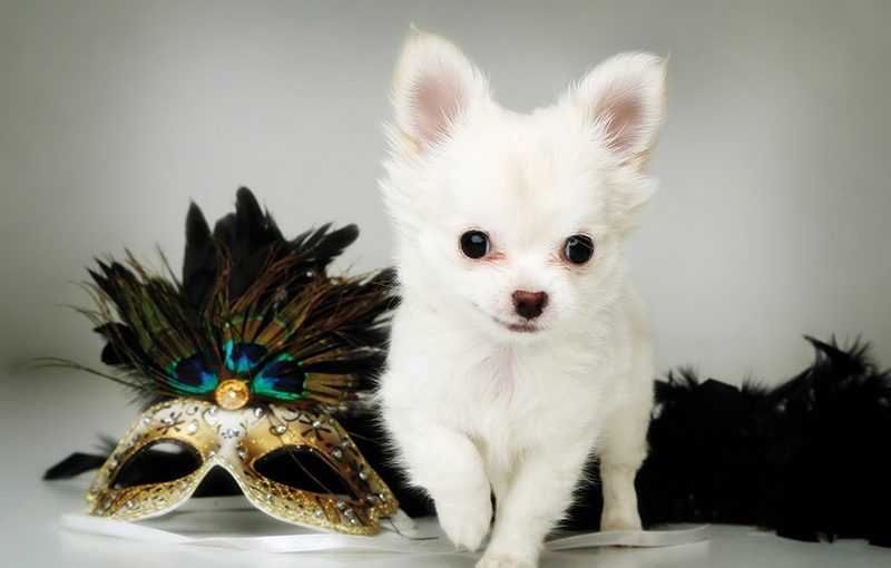 small white puppy standing next to a glittery carnival eye mask with feathers